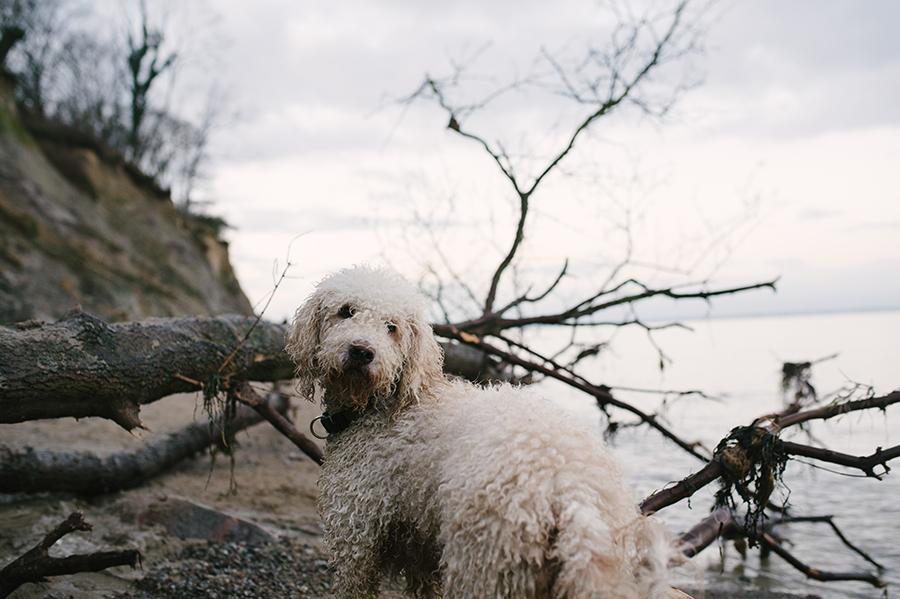 Fotograf, Familie, Hund, Golden Doodle