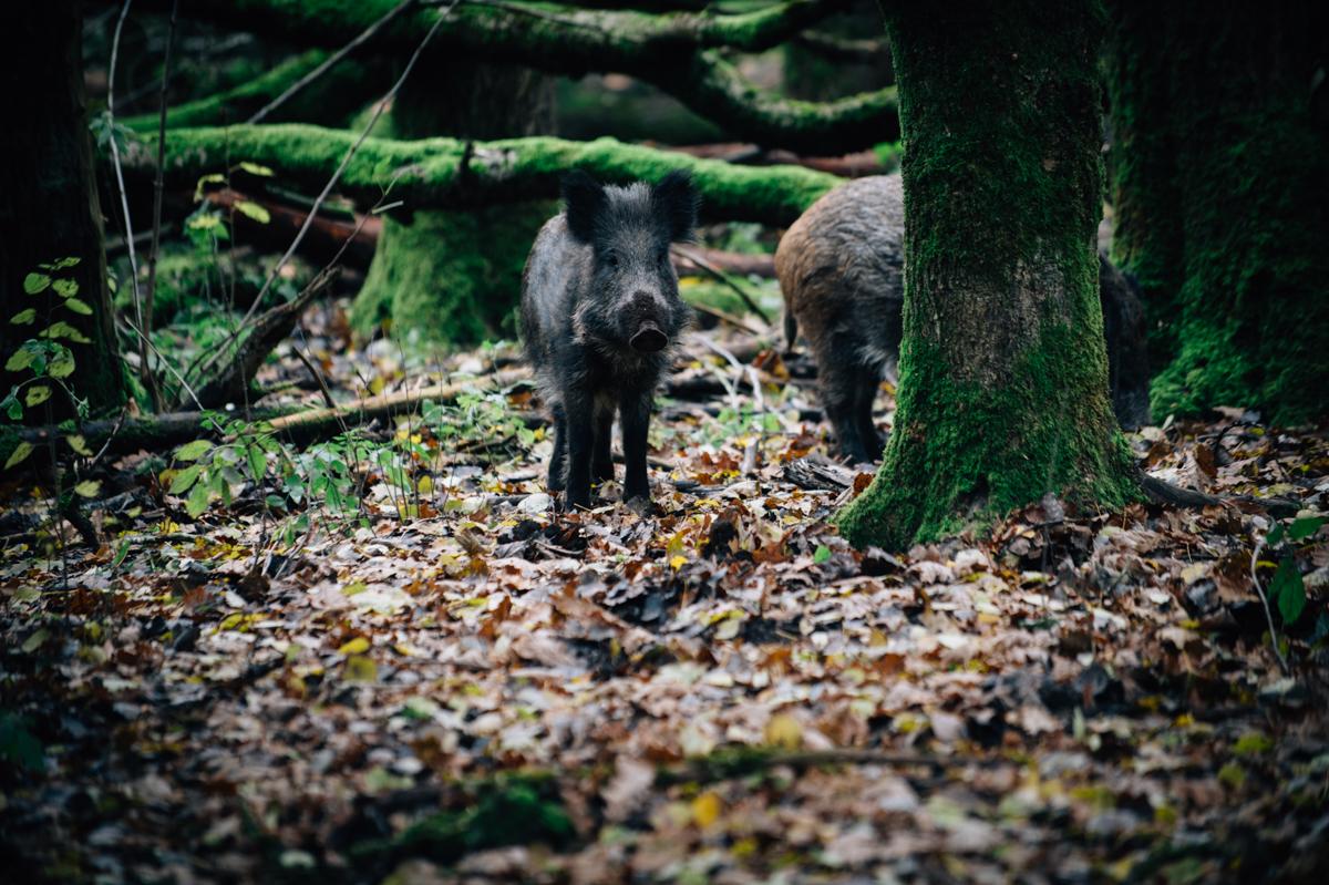 Wildschwein, Fotograf, Kathrin Stahl