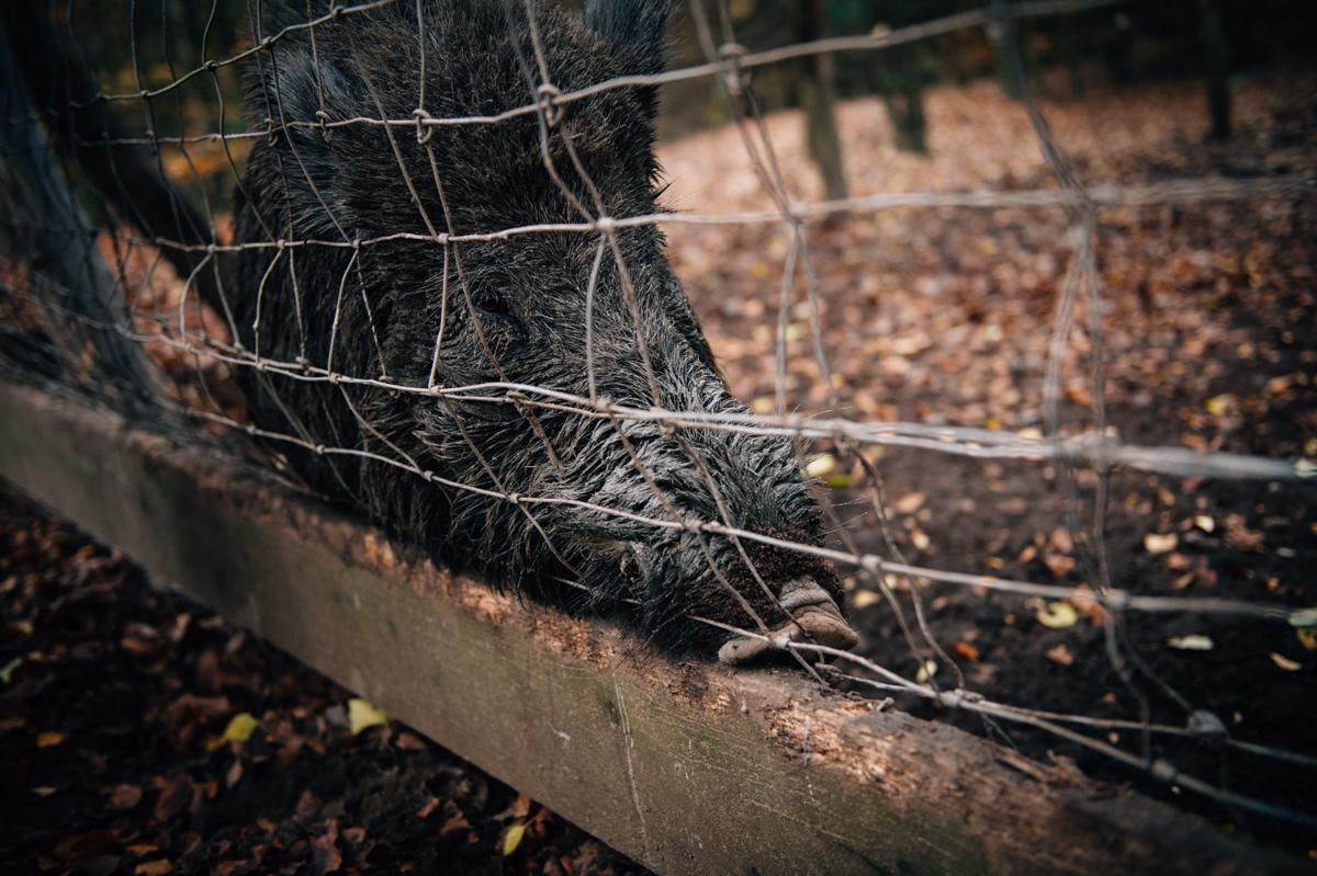 Wildschwein, Fotograf, Hamburg, KathrinStahl