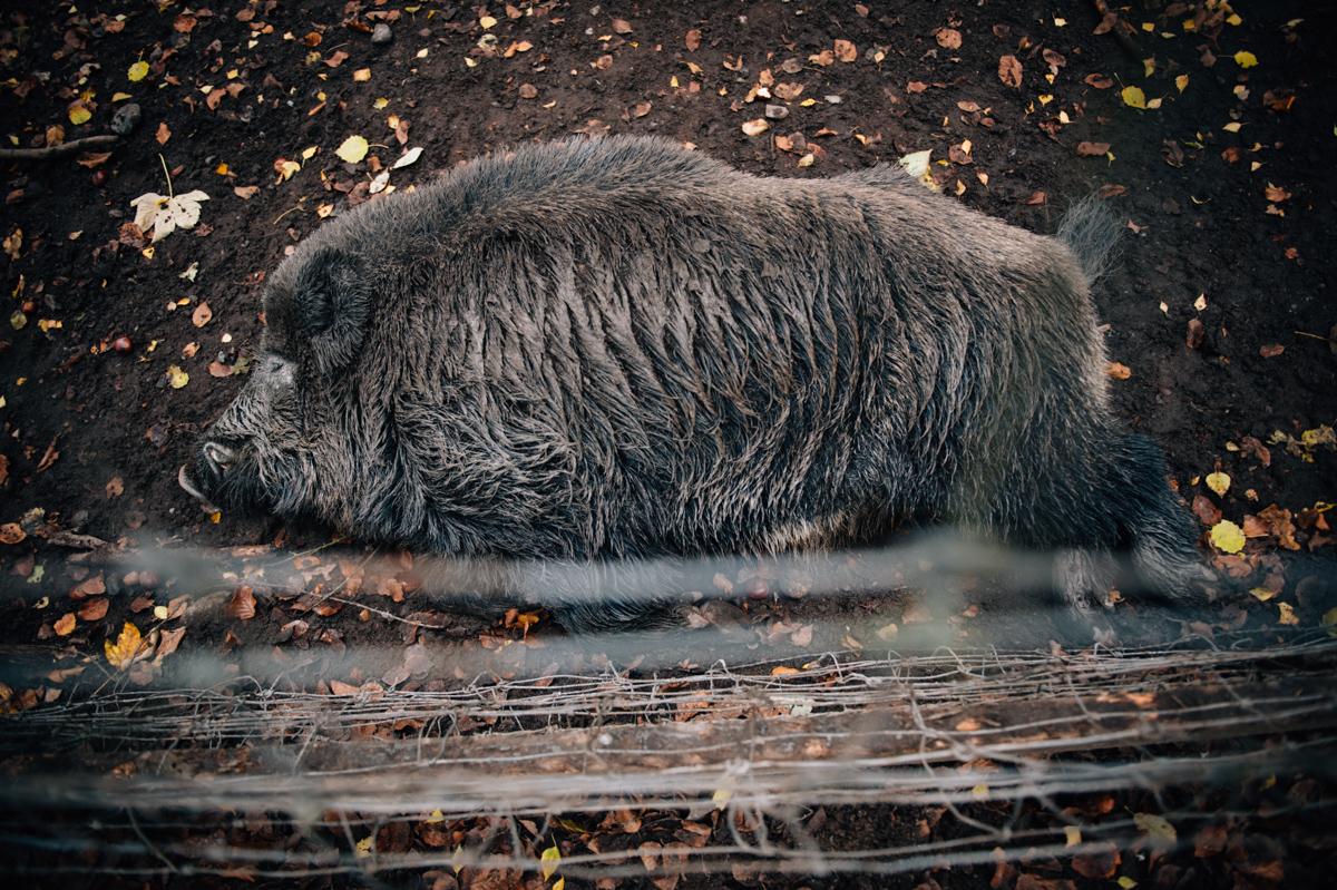 Wildschwein, schlafend, Fotograf, KathrinStahl